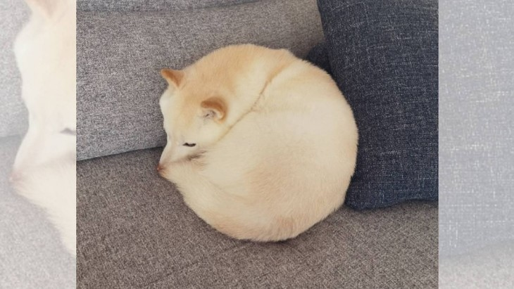 満月?クッション?モフモフまん丸柴犬さんの寝姿が尊いと話題!