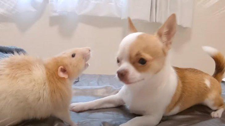 テンションマックス!大好きなネズミさんと遊ぶチワワ