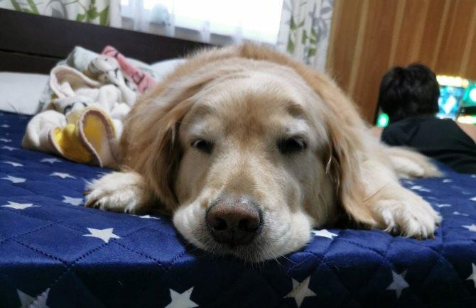 シニア犬の可愛さを見せつけるゴルさんの魅力にネット民騒然♡