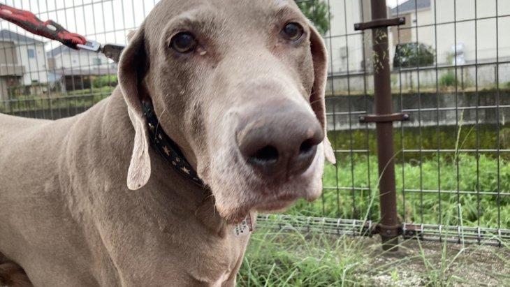 私と保護犬ワイマラナーとの出会い。13歳の大型犬を迎えて体験したこと