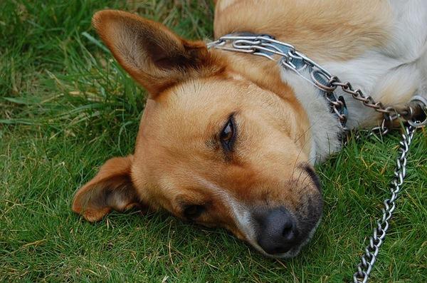 犬の膿皮症の正しい知識。原因や症状、予防・治療法について