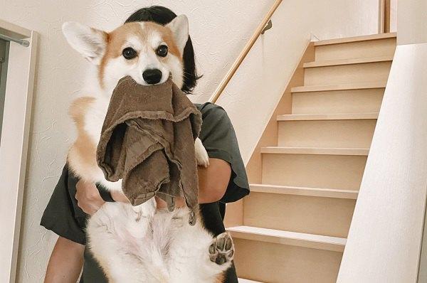 「タオルは絶対渡しません!」コーギーさんの出勤スタイルが話題