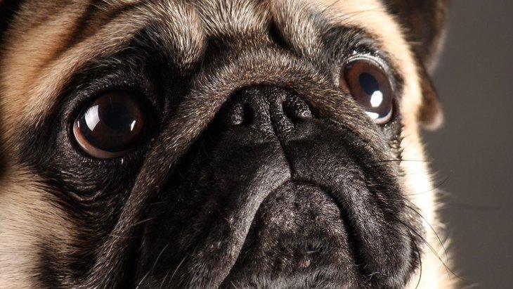 知ってる?鼻ぺちゃ犬種との生活で気をつけたいこと5つ