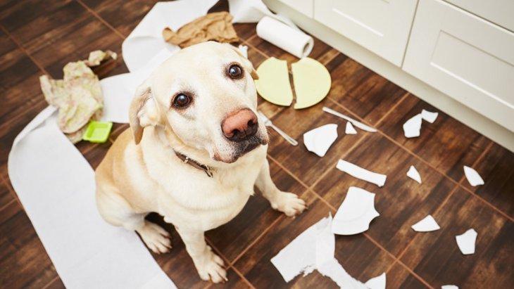 犬が家を散らかすときの心理3つ!やめさせる方法まで