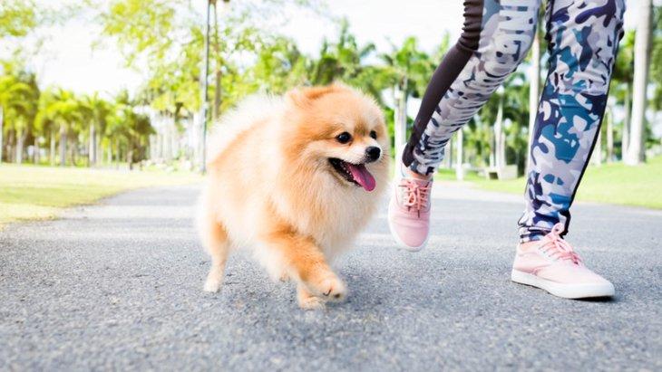 ポメラニアンの散歩は必要!その適した時間と注意点とは