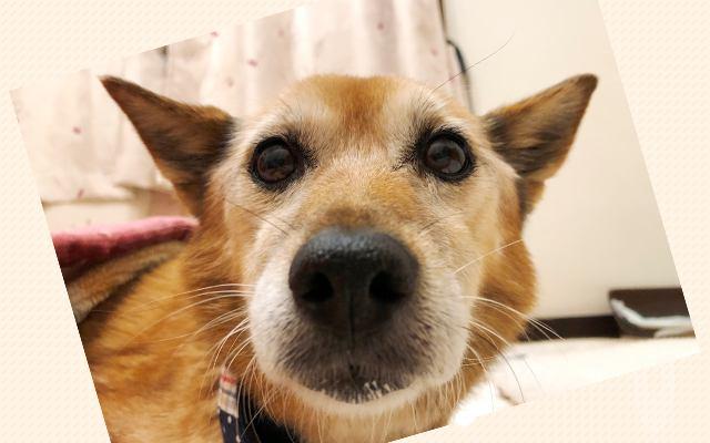 保健所収容のシニア犬『てん』を迎えるまでの軌跡―シーズー達に導かれて