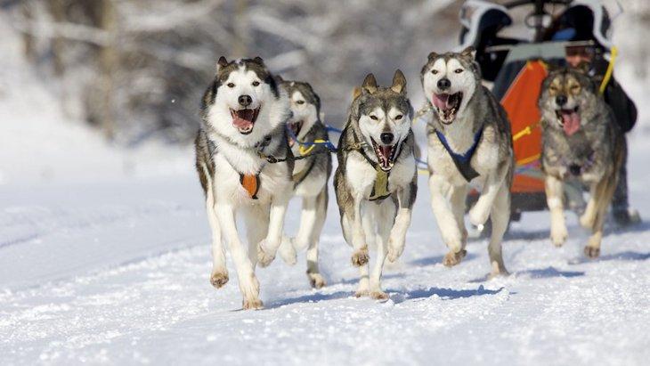 遺伝子研究から分かった、現代のそり犬の起源