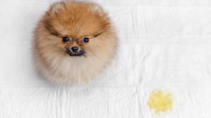 犬のおねしょは病気のサイン!その原因と対策とは