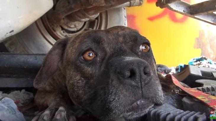 保護された母ピットブルは、小犬を守るために素知らぬふりをした?