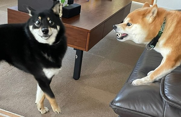 【爆笑】先輩犬に怒られちゃってこの顔!がツイートで話題♡