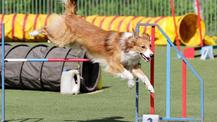 犬のアジリティとは?内容や向いている犬種について
