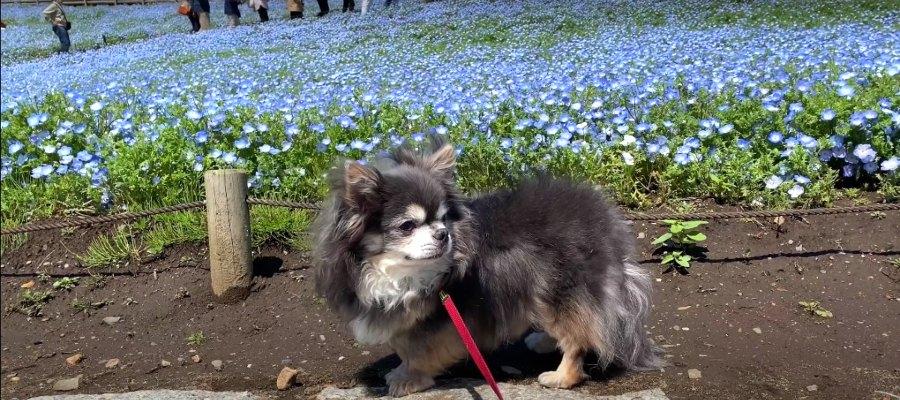 【小旅行動画】ネモフィラの花畑を見に行くチワワちゃん!