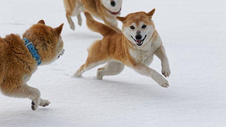 柴犬が天然記念物である経緯と普通に飼える理由