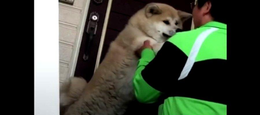 降りない…!階段を拒否する秋田犬さんがかわいい♡