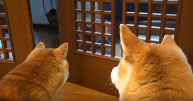 「早くこっち来なさい!」ドア遊びをする猫の心配をする柴犬親子