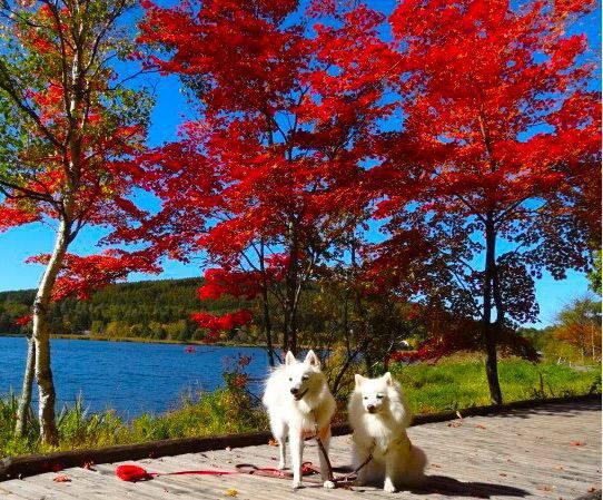 愛犬を連れて紅葉のビーナススライン、白樺湖とレストラン子梨の木の下