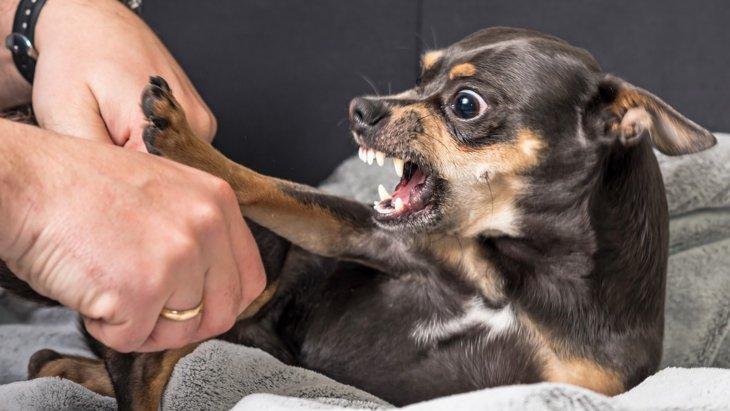 チワワの噛む癖を直したい!困ったときのしつけ方