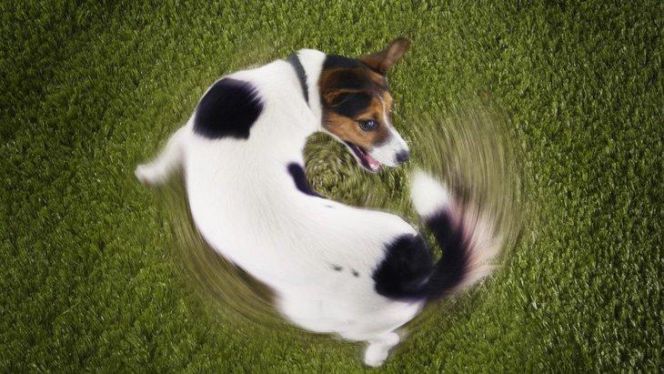 犬が自分のしっぽを追いかける心理4選!実は病気が隠されていることも…?