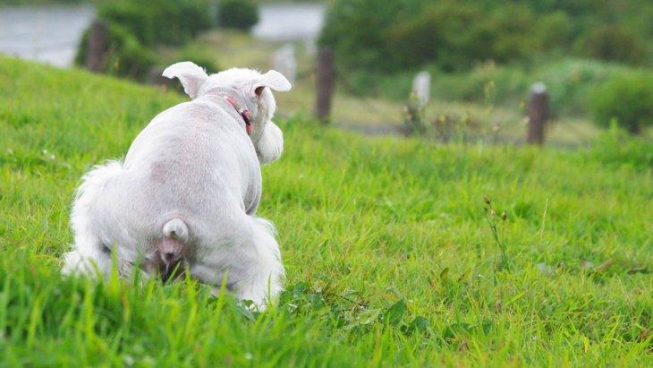 犬がウンチをする前にくるくる回るあの行動は、安心感が欲しいから?