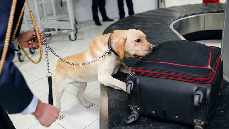 アメリカの空港で安全を守る!探知犬にたれ耳が多いのはなぜか?