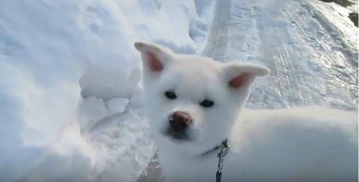 まるでぬいぐるみ!雪の上を歩く秋田犬の子犬が可愛すぎ♡