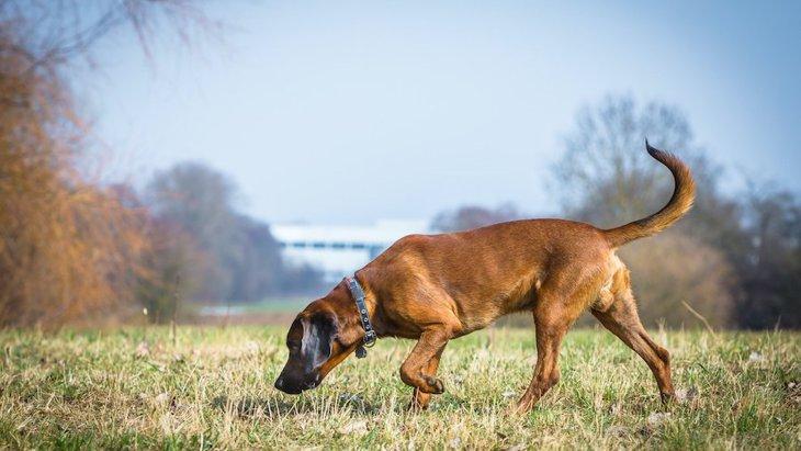 絶滅危惧種の野生動物を保護するために嗅覚を使って働く犬たち