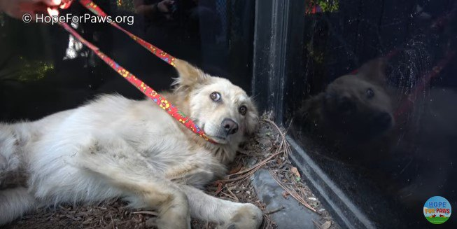おなかを蹴られて内臓破裂していた犬を保護。手術、回復そして里親の元へ!