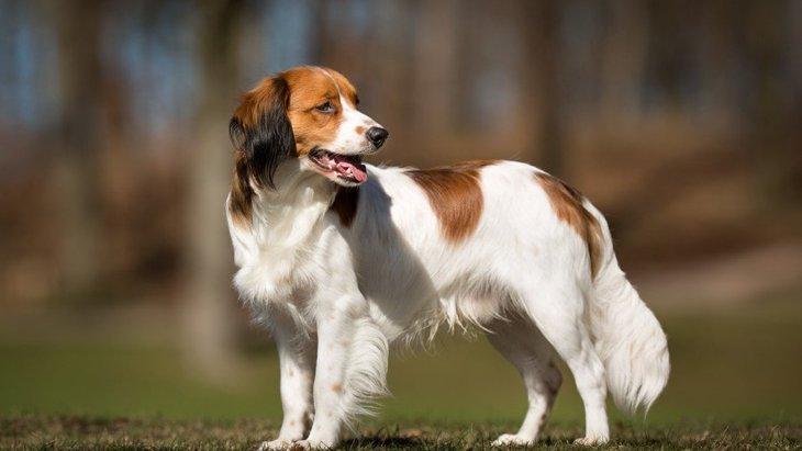 日本ではほぼ見ることができない犬種4選
