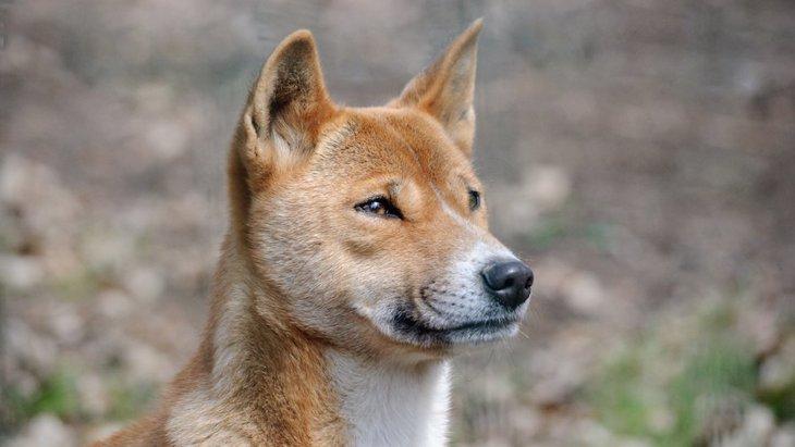 現存する最古の犬種「ニューギニア・ハイランド・ワイルドドッグ」とは?