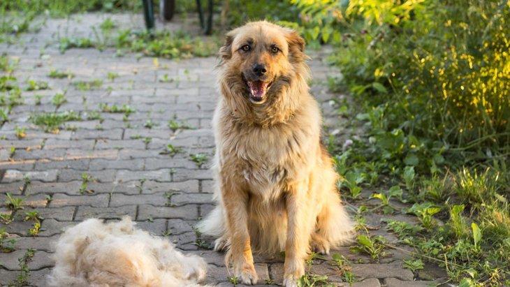 家中毛だらけで大変!犬の換毛期にしたい対策と注意点