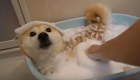 【極楽です】久しぶりのお風呂に上機嫌な柴犬ちゃん♡