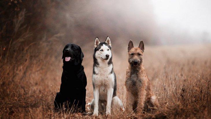 子犬と子オオカミの行動を比較した研究からわかったこと