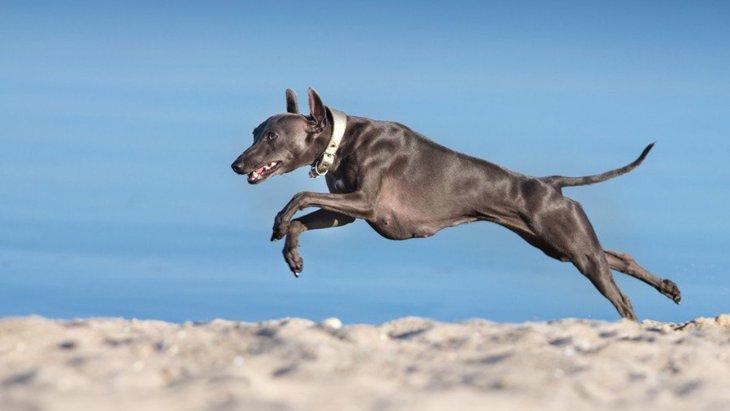 走るのが得意な犬種9選!最高時速はまさかの70km?!