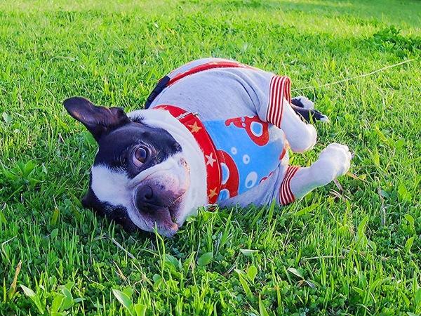 犬がいびきをする原因やかきやすい犬種・手術について