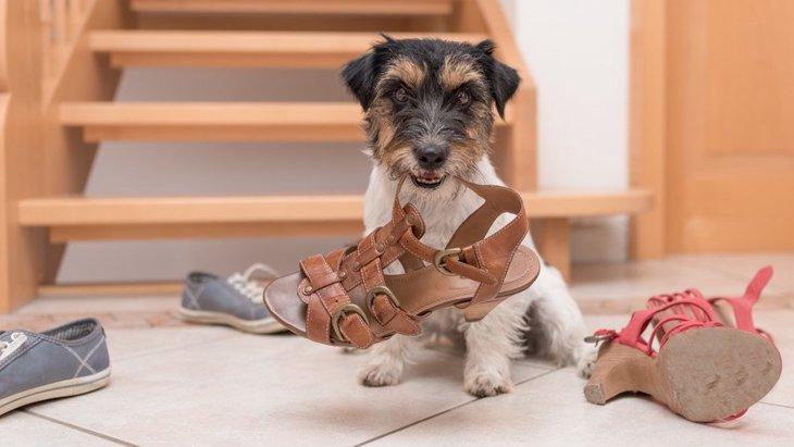 ボロボロになっちゃう!犬が靴をかじる心理