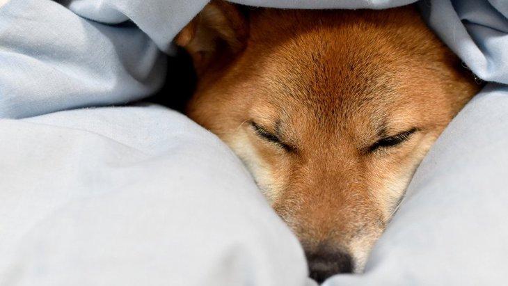 犬がお布団に潜り込んでくる理由4つ!苦しくはないの?