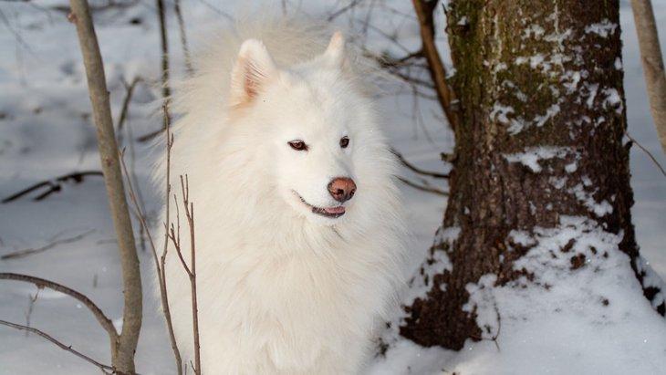 ロシアが原産国の犬種8選