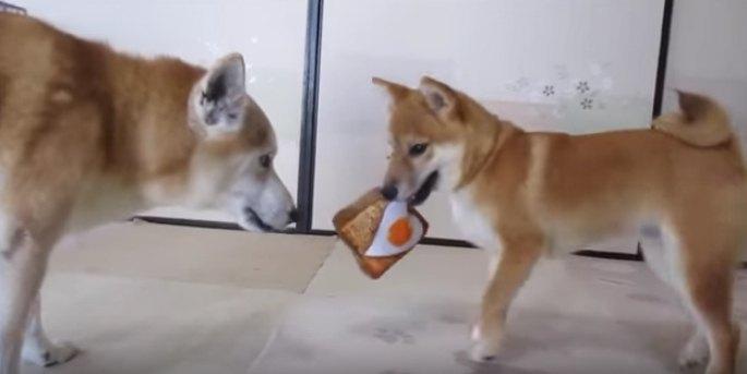 優しい世界♡喧嘩するほど仲が良い柴犬コンビ!