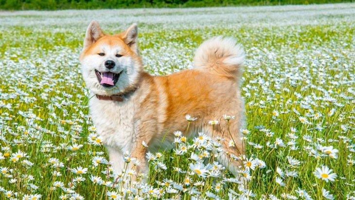 日本犬について!和犬や地犬など日本原産11犬種