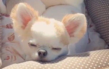 外出すると疲れちゃう…。車で眠気に襲われる天使なチワワ