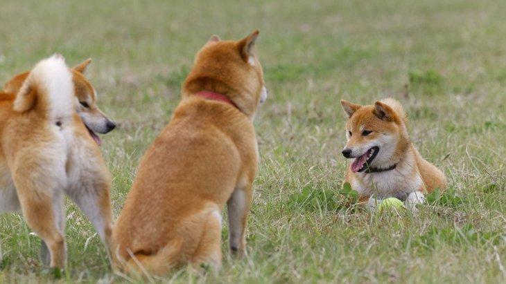 『柴距離』って知ってる?柴犬の『独特な距離感』を感じることはありませんか?