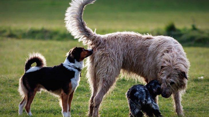 犬が他の犬のお尻をクンクン嗅ぐ心理5つ