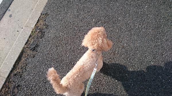 成犬でもトイレトレーニングは遅くない!