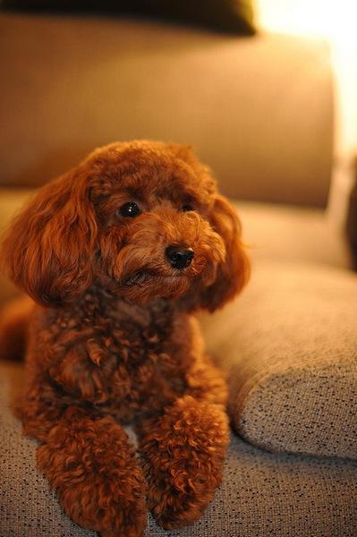 トイプードルのパピーカットは、子犬の被毛にマッチしたスタイル!