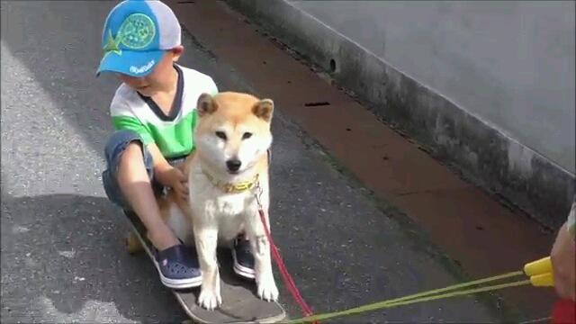 スケボードッグデビュー!?初めてスケボーに乗せてもらった柴犬(動画)
