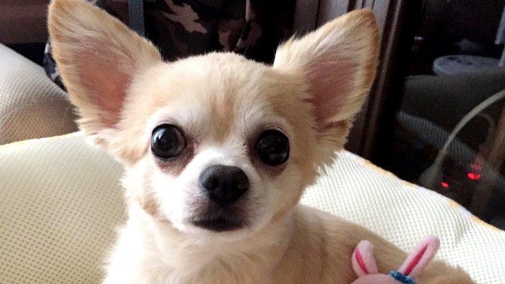 繁殖犬からレスキューされた愛犬の本心とは|Laylaのペットリーディング