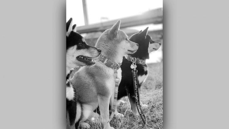 【話題のハッシュタグ】3匹の柴犬さんが並ぶ姿が胸に沁み過ぎる件