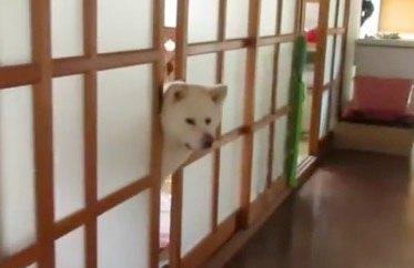 廊下が気になる秋田犬。ちょっと寒いからお部屋からは出たくないので顔だけ『失礼!』