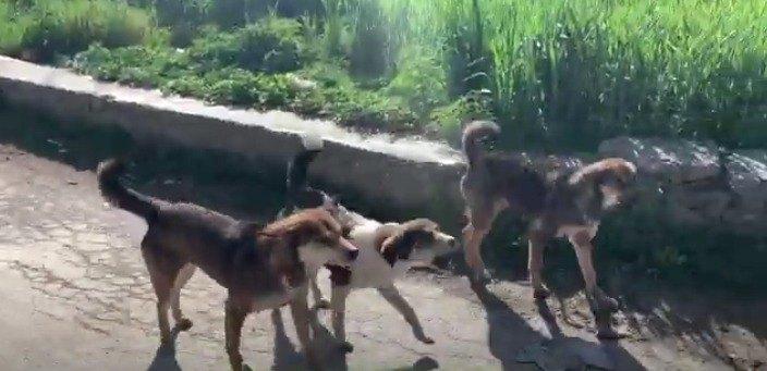 【ネパール】野良犬だらけのネパールでは愛犬のお散歩も一苦労!