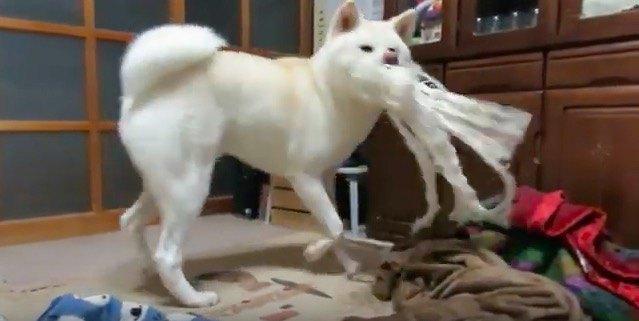 『ワイルドボーイなんじゃない?』オモチャが一瞬で・・・!?とてつもないパワーを発揮する秋田犬くん